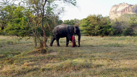 Nogombo, Sri Lanka- 2019-03-22 - Elephant and His Handler Walk in Field in Front Footage