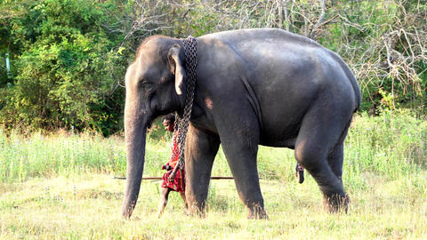 Haberna, Sri Lanka- 2019-03-22 - Elephant Handler Can Be Seen Behind His Animal Footage