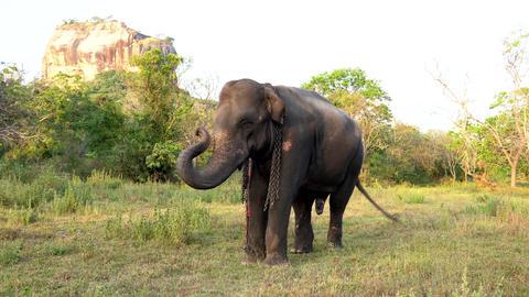 Haberna, Sri Lanka- 2019-03-22 - Elephant Raises His Trunk While Standing in Footage