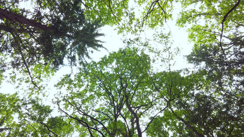 Forest canopy in spring, the sun gently shining through the green branches Footage