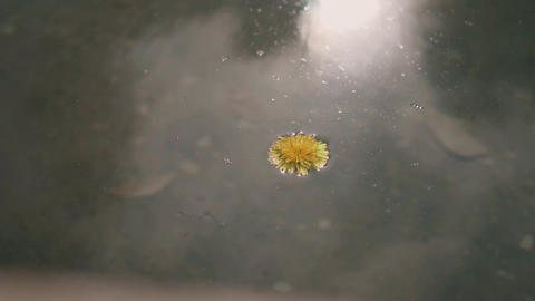 dandelion floating in dirty water Live Action