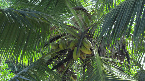 Seychelles. Praslin Island. Leaves of high palm sway in the wind. The fruits of Footage