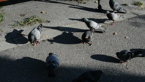 Pigeons Feeding On The Park Alley Live Action