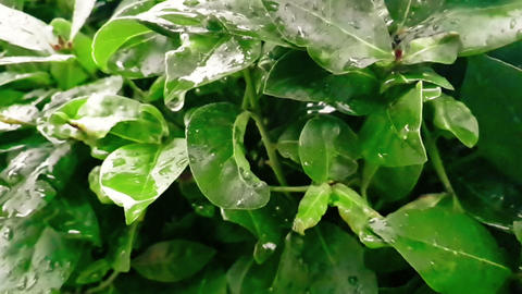 detail of green leaf and wet when raining drops falling down, slow Footage