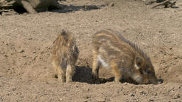 Piglets of a wild boars. Sus scrofa. Young, baby wild boars Live Action