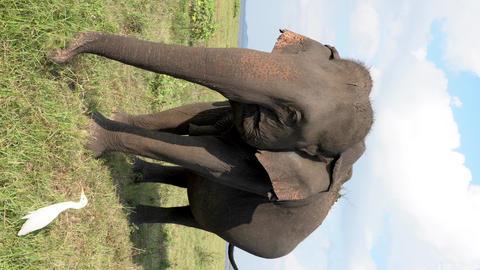 Elephant Eats Grass With Egrets - Closeup Vertical Social Media Format Footage