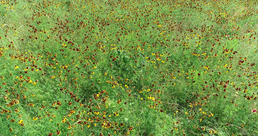 Aerial drone flight over wildflowers in Texas Live Action