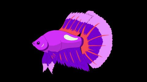 Big Purple Aquarium cockerel fish Alpha Matte looped Animation