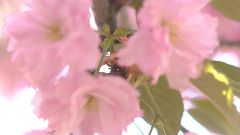 Blooming Sakura Cherry Blossom Background In Spring Live Action