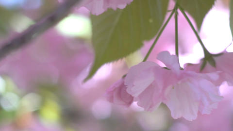 Cherry Blossoms From Early Blooming To Full Bloom Footage