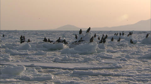 A flock of Steller's sea-eagle and white-tailed sea eagles stopping on drift ice (the setting sun) Live Action