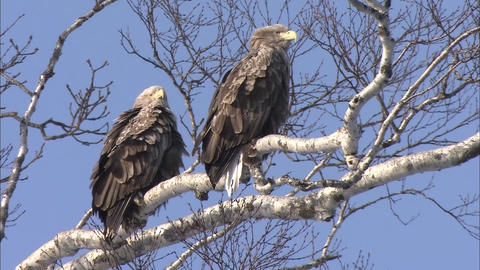 Two white-tailed sea eagles which stop to the branch of the tree Live Action
