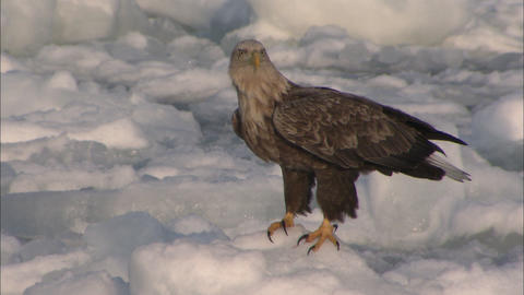 White-tailed sea eagle on the drift ice Live Action