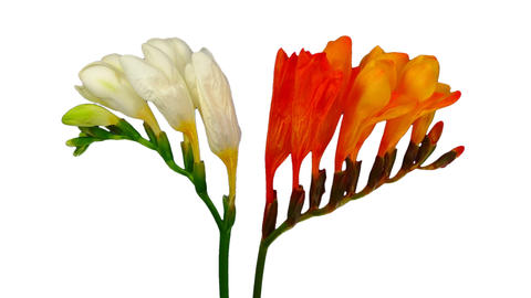 Time-lapse of opening orange and white freesia flowers Live Action