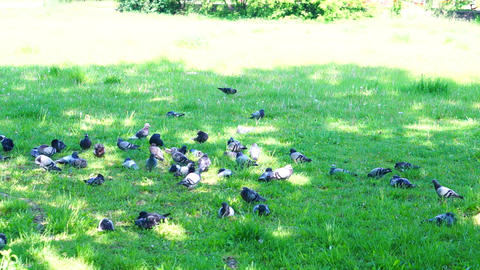 Pigeons on green grass Footage