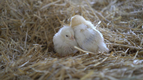 4K Three Little Chick Falling Asleep On The Hay Live Action