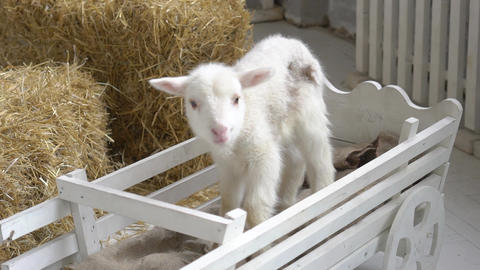 A White Domestic Goat Standing On The Farm Live Action