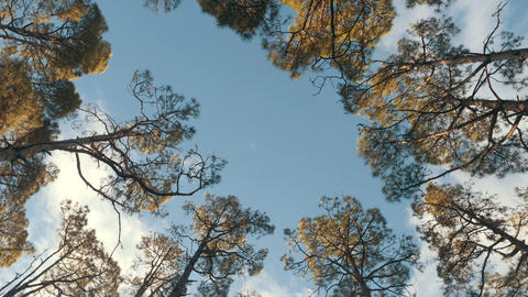 Bottom view of a pine forest in beautiful morning light. Bottom view Live Action