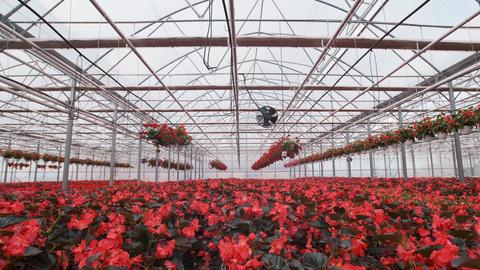 Large glass greenhouse with flowers. Growing flowers in greenhouses. Interior of Live Action