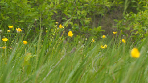 Yellow spring flowers in the wind. Buttercup on the green meadow Live Action