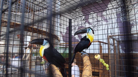 Birds toucans at the zoo Footage