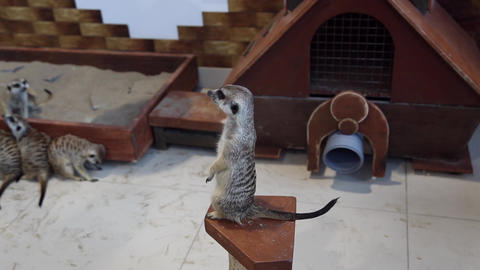 Meerkat in the petting zoo Footage
