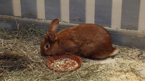 Red rabbit in the petting zoo Footage