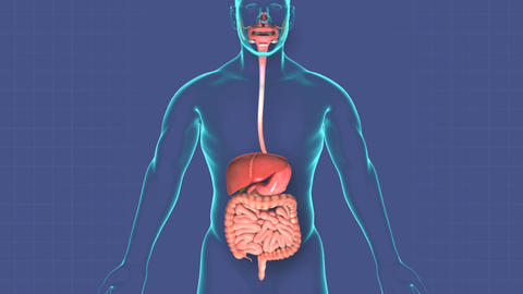 Human digestive system with annotated organs, Stock Animation