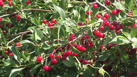 Cherry in summer garden Footage