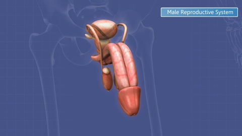 Male reproductive system within a translucent human body Animation