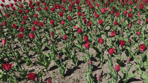 Flowerbeds of red, yellow and orange tulips. Close up of red star tulips Live Action