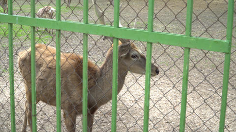 deer in the zoo Footage