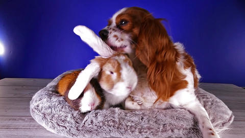 Cute animal group animals together rabbit lop dog guinea pig cavy studio video Footage