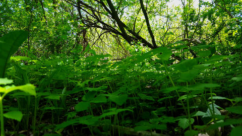 Viewpoint of Green Forest Floor Plants. Up-Close Lush Greenery Under Woodland Canopy Footage