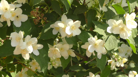 Jasmine flowers white Live Action