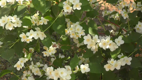 Jasmine flowers white, Live Action