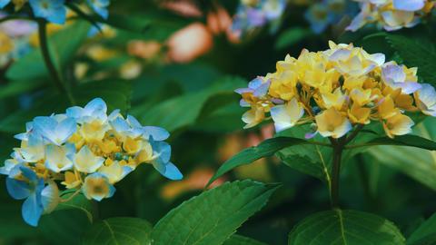"Blooming Japanese Hydrangeas ""AJISAI"" 03 Live Action"