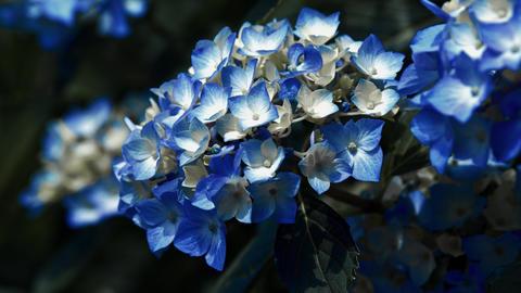 "Blooming Japanese Hydrangeas ""AJISAI"" 09 Live Action"
