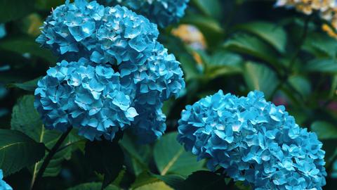 "Blooming Japanese Hydrangeas ""AJISAI"" 05 Live Action"