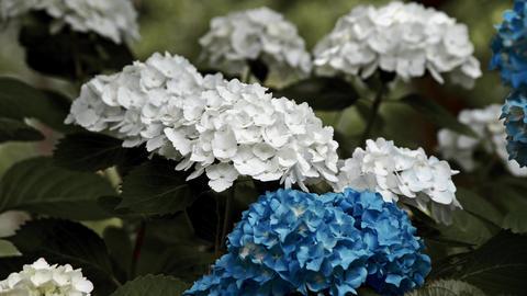 "Blooming Japanese Hydrangeas ""AJISAI"" 11 Live Action"