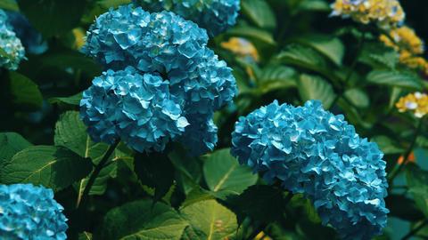 "Blooming Japanese Hydrangeas ""AJISAI"" 06 Live Action"