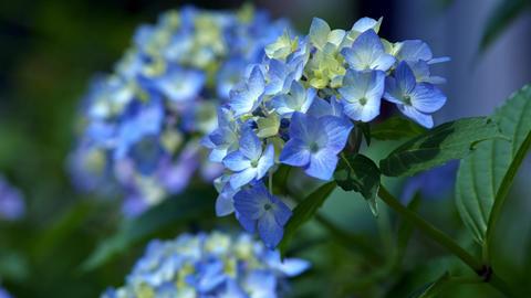 "Blooming Japanese Hydrangeas ""AJISAI"" 10 Live Action"