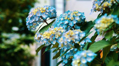 "Blooming Japanese Hydrangeas ""AJISAI"" 08 Live Action"