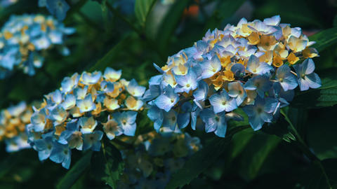"Blooming Japanese Hydrangeas ""AJISAI"" 07 Live Action"