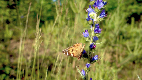 Painted Lady Butterfly on Flower Footage