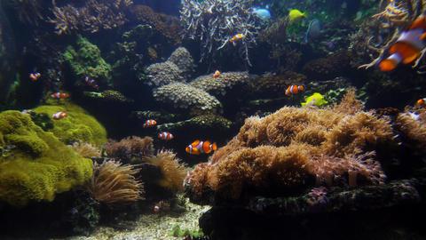 Clown fish and coral close GIF