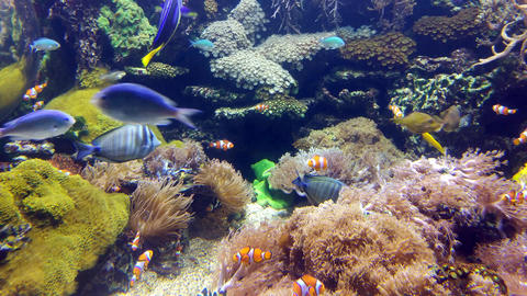 Clown fish in the coral reef GIF