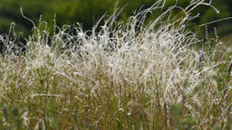 Feather grass in wind Footage