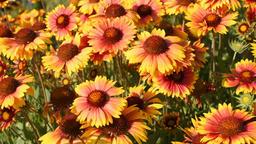 Gaillardia flowers in garden Footage
