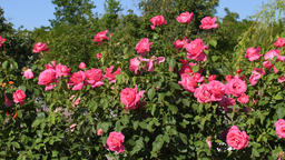 Rose bushes in garden Footage